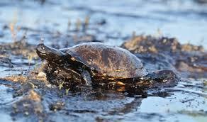 Tartaruga marinha coberta de petróleo derramado no oceano